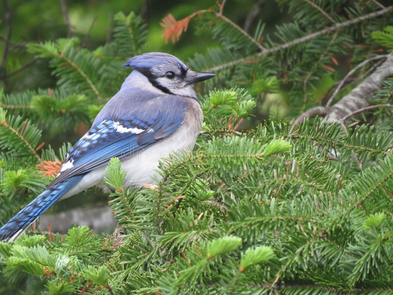 Blue Jay In Tree. Blue jay relaxing on an evergreen branch in the summer time stock photo