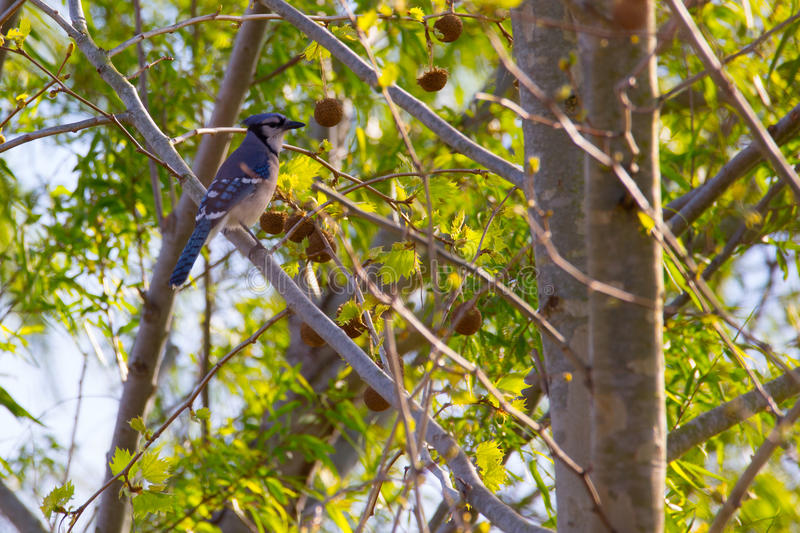 Blue Jay in Tree stock images