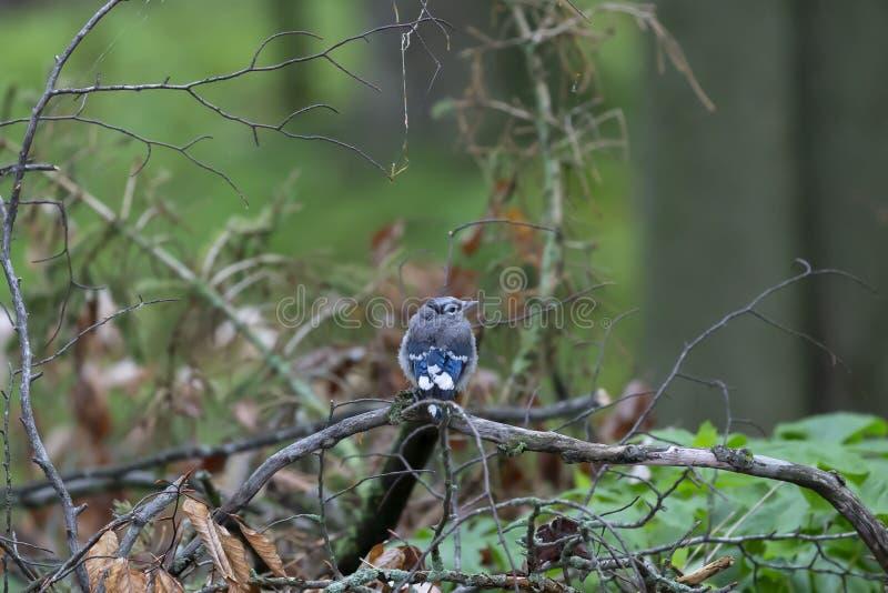 Blue Jays Cyanocittacristata arkivbild