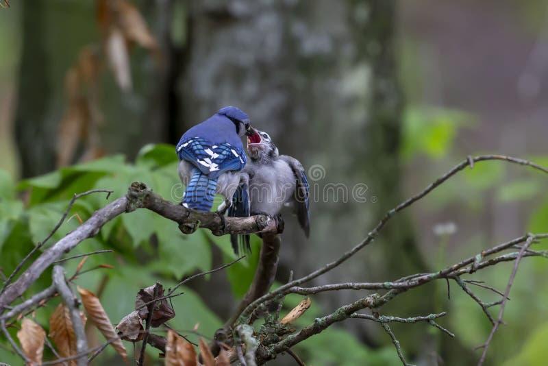 Blue Jays Cyanocittacristata arkivfoton