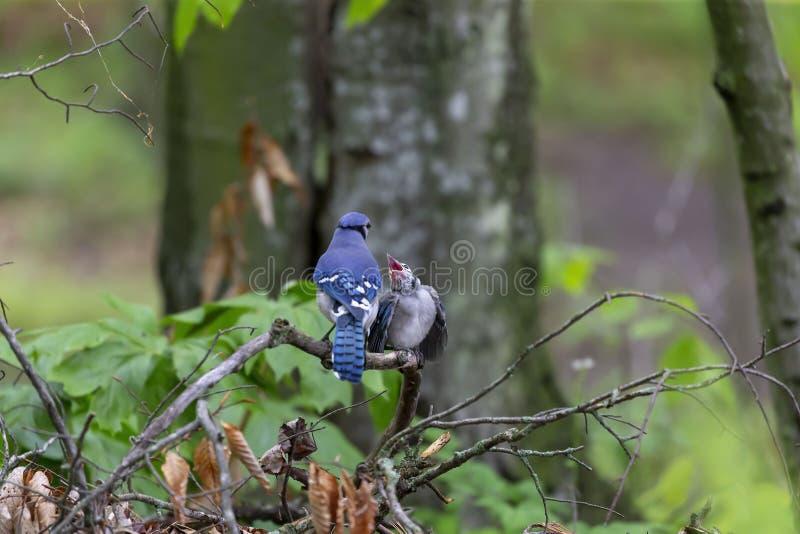 Blue Jays Cyanocittacristata royaltyfri fotografi