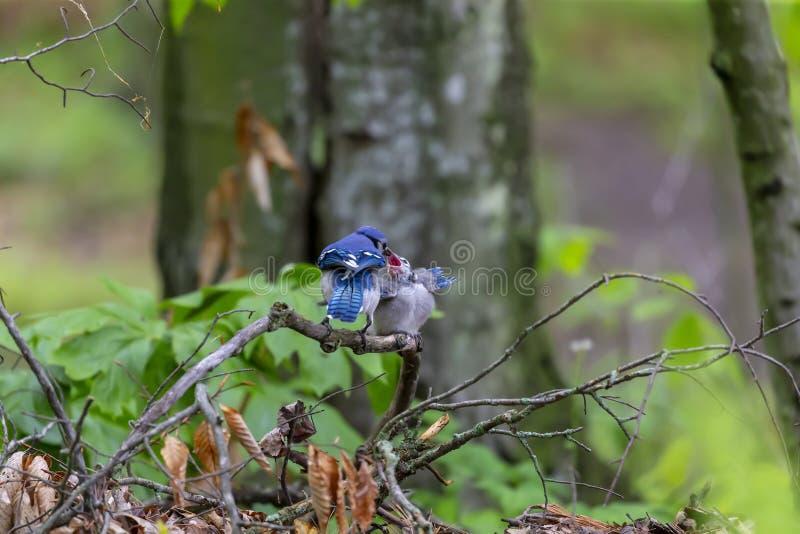 Blue Jays Cyanocittacristata royaltyfri foto