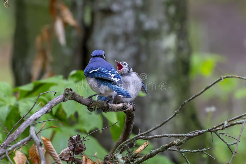 Blue Jays Cyanocittacristata fotografering för bildbyråer