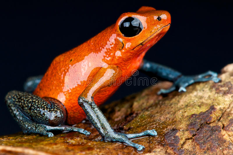 Blue jeans dart frog. The blue jeans dart frog, Oophaga pumilio, is a color form of the strawberry dart frog. It lives locally in Panama,Central America royalty free stock photos