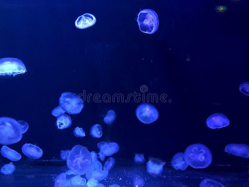 Blue Jelly Fish in Aquarium royalty free stock photos