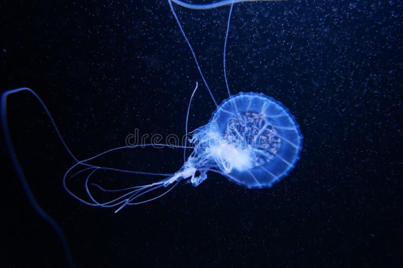 Blue jelly fish in dark water stock photo