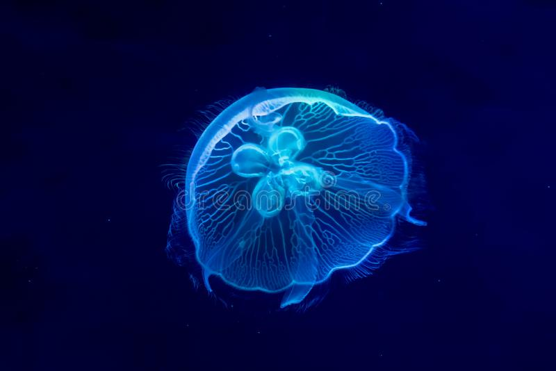 Blue Jelly Fish Semaeostomae Aurelia Pelagia Cyanea royalty free stock images