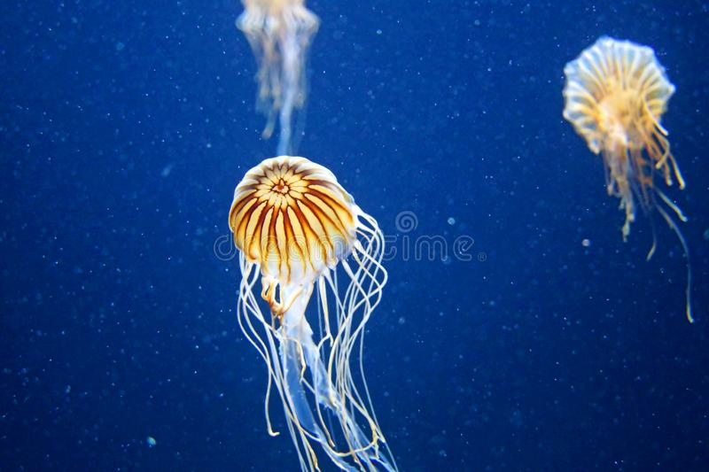 Blue jelly fish in dark water stock photos