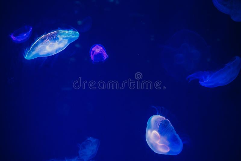 Blue Jellyfish stock image
