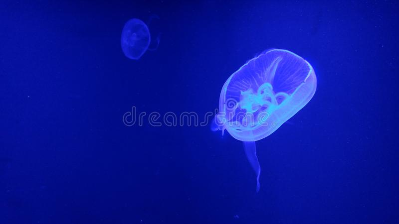 Blue jellyfish on blue light aquarium. The blue jellyfish on blue light stock image