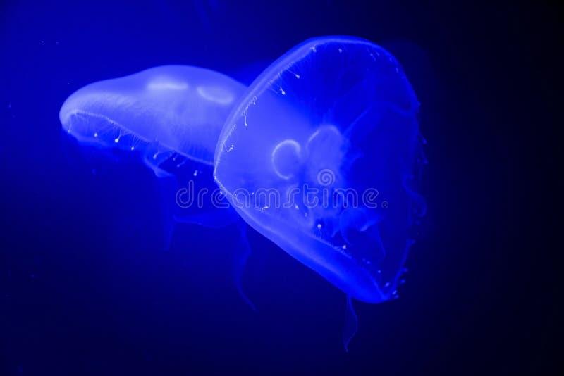 Blue jellyfish swim to light stock images