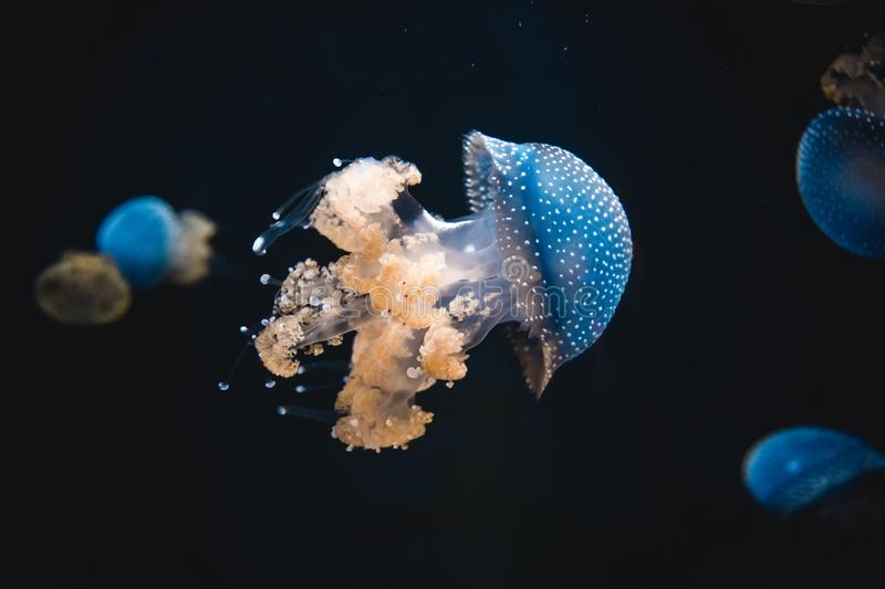 Blue jellyfish swimming in an aquarium tank environment. Spotted blue jellyfish surrounded by other varieties of medusa in an aquarium tank with orange tentacles royalty free stock image