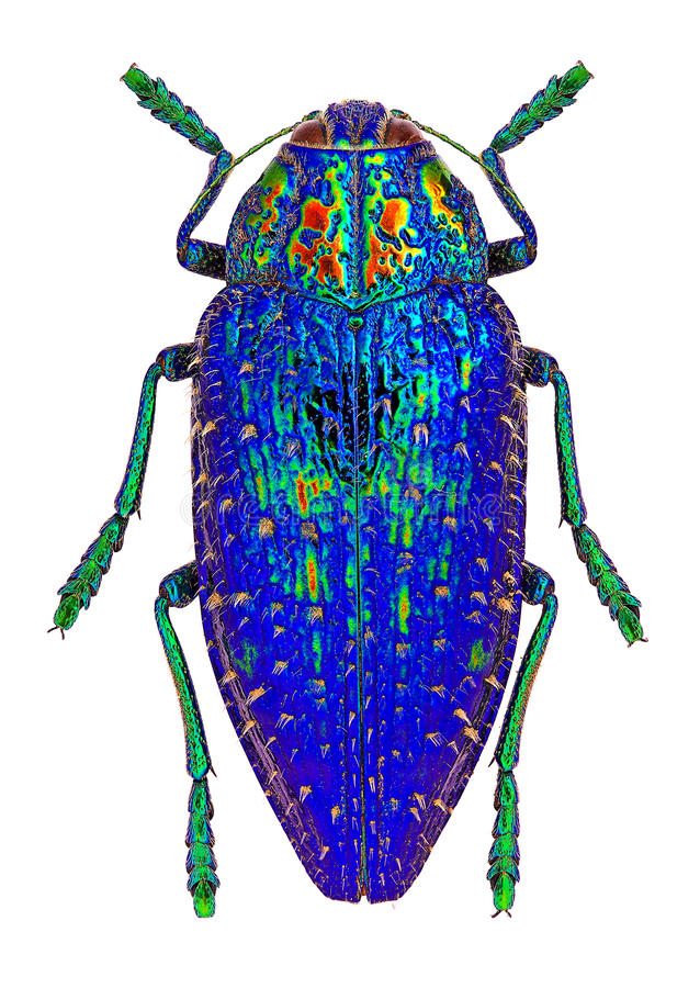Blue jewel beetle from Madagascar (Polybothris sumptuosa gema) stock photography