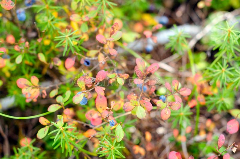 Blue juicy wild blueberry berries grow on a Bush in colorful vegetation and grass in green and red autumn in the tundra. Blue juicy wild blueberry berries grow royalty free stock photography