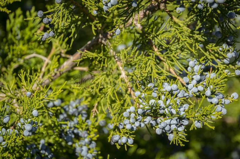 Blue juniper berries close-up on green branches against the background of a beautiful blur. Beautiful natural stock image