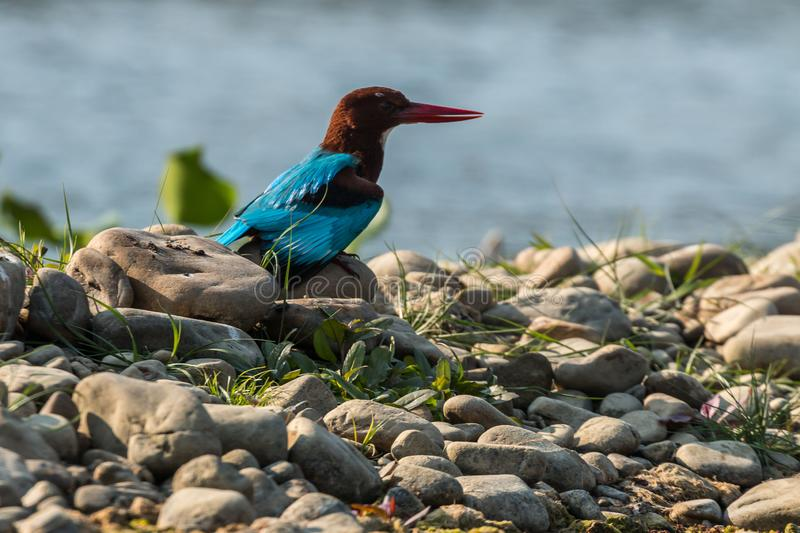Blue kingfisher on a river in Chitwan National Park, Nepal. A popular destination for safaris and bird watching royalty free stock photography