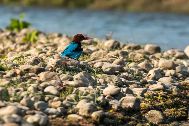 Blue kingfisher on a river in Chitwan National Park, Nepal. A popular destination for safaris and bird watching stock images
