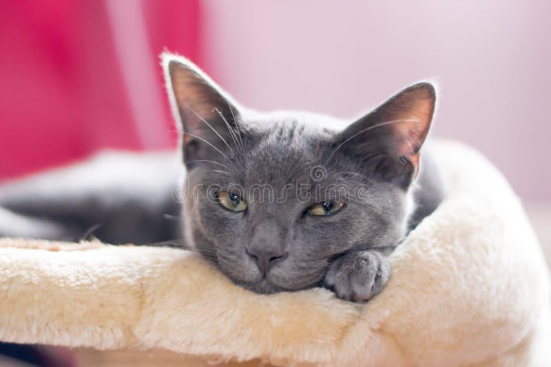 Blue Korat Kitten stock photo