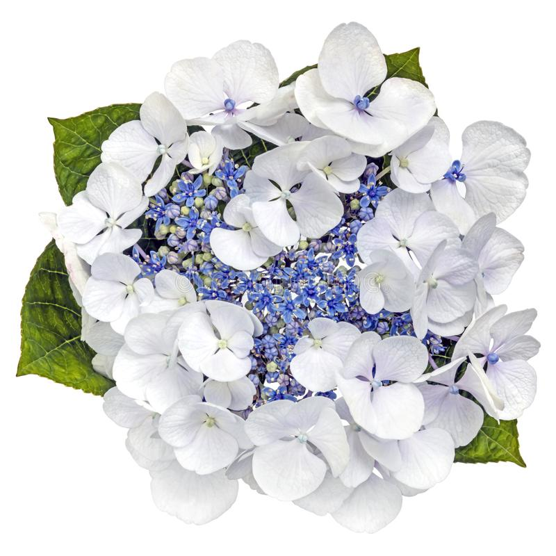 Download Blue Lacecap Hydrangea Flower Top View Isolated On White Stock Photo - Image of leaves, nature: 106878668