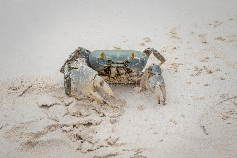 Blue Land Crab. On the beaches of Cuba royalty free stock image
