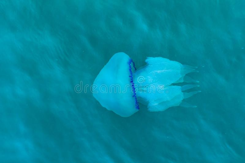 Blue large jellyfish floating in the sea royalty free stock photos
