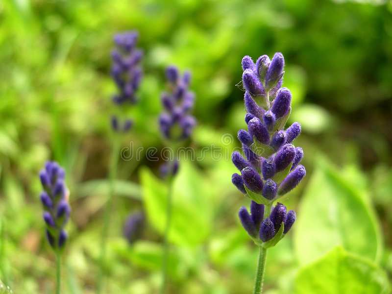Blue lavender royalty free stock photography