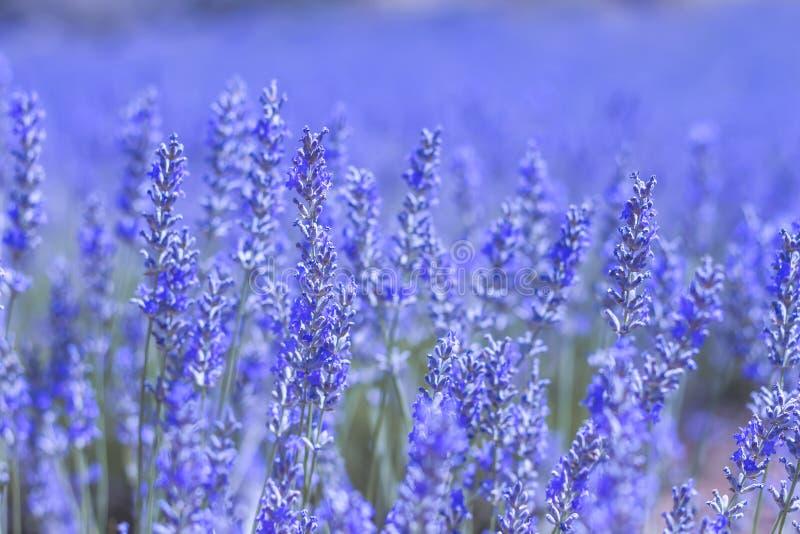 Blue lavender close up stock images
