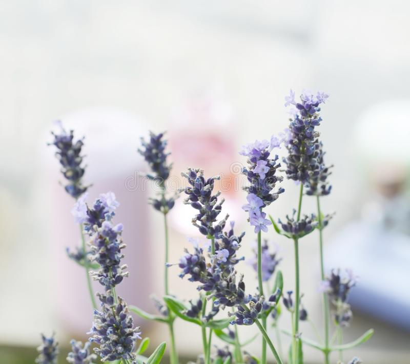 Blue Lavender Flowers. Beautiful detail of a lavender field royalty free stock photography