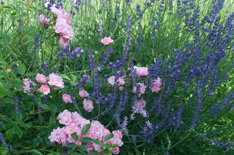 Blue lavender and pink roses in summer garden royalty free stock images