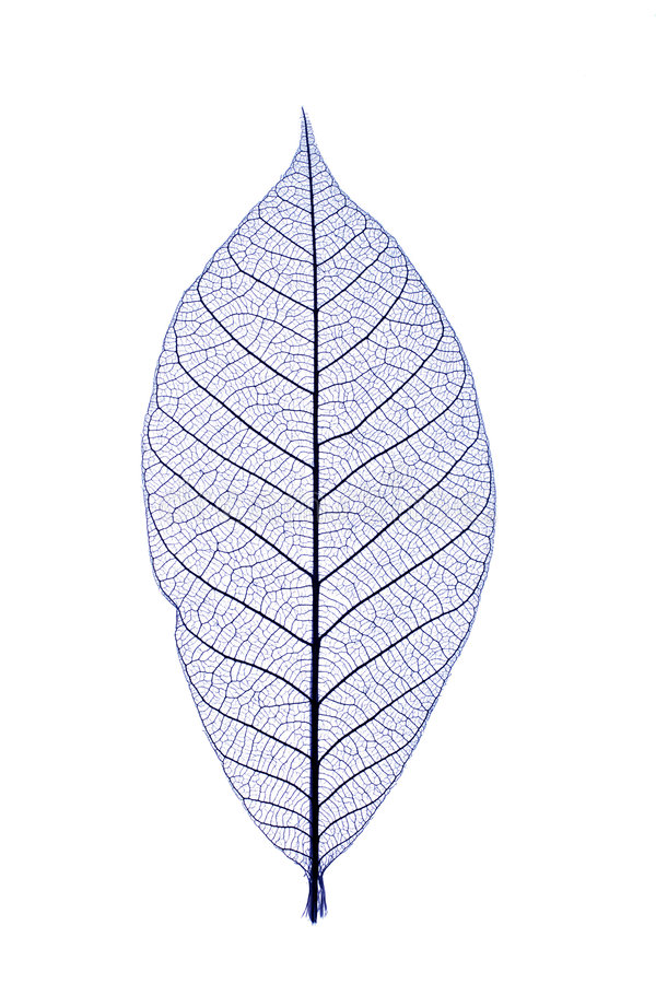 Blue leaf royalty free stock image