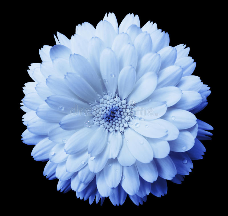 Blue-light blue Flower calendula, blossoms petals blue with dew, black isolated background with clipping path. no shadows. Closeu royalty free stock image