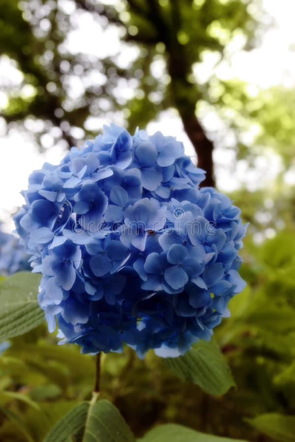 Blue light hydrangea. Light blue hydrangea in the kerry countryside in ireland royalty free stock photo