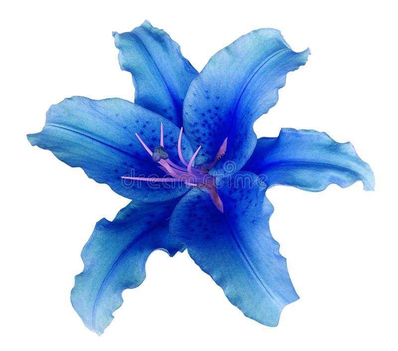 Blue lily flower on a white isolated background with clipping path no shadows. For design, texture, borders, frame, background royalty free stock photography