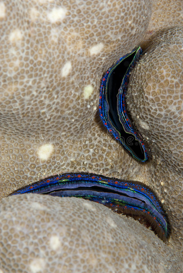 Free Blue-lined Coral Scallop, Embedded In The Reef. Stock Images - 16718794