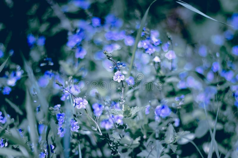 Blue little flowers, forget-me-not close up and grass. Shallow DOF stock photography