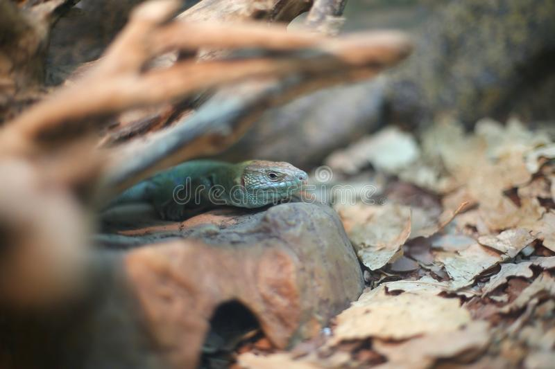 Blue lizard, reptile sits on a rock, in a shelter. Blue lizard, reptile sits on a rock, in shelter, hunt, outdoors, in the air, in autumn, close-up, side view royalty free stock photography