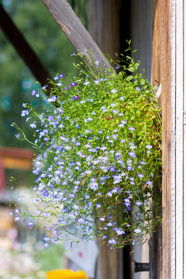 Blue lobelia blooming royalty free stock photography