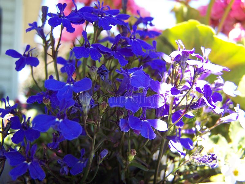Blue Lobelia close-up royalty free stock image