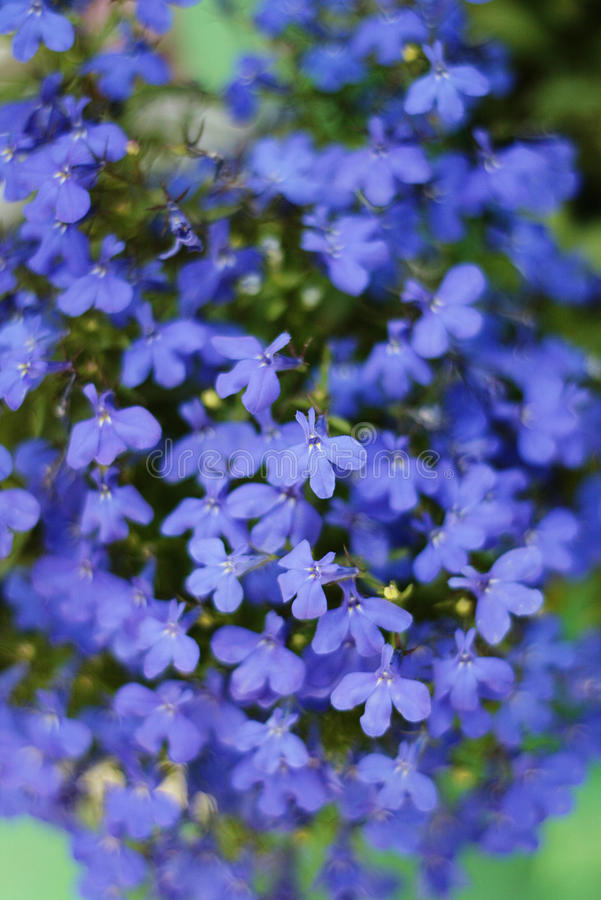Blue lobelia. Lobelia erinus flowers in the late spring royalty free stock image