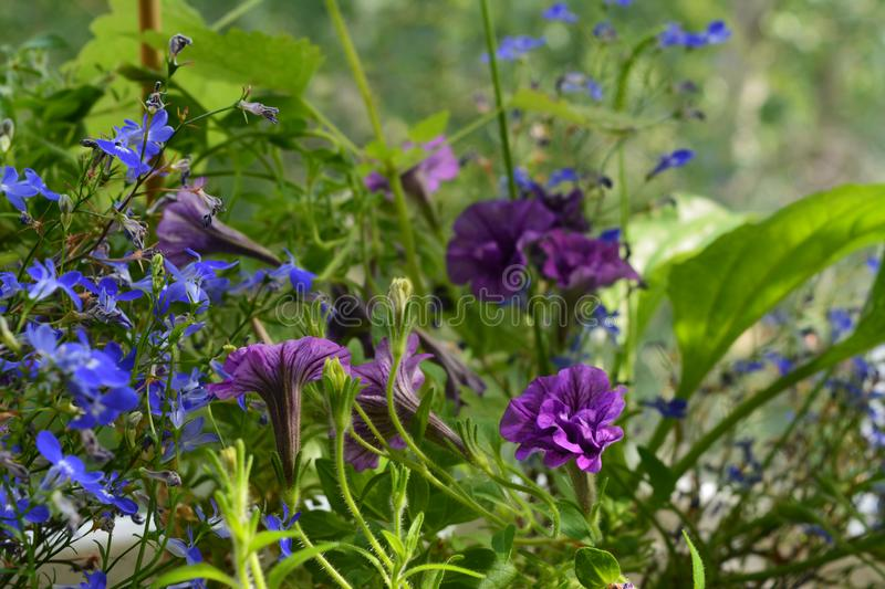Blue lobelia and violet petunia flowers. Closeup view. Balcony greening.  stock images