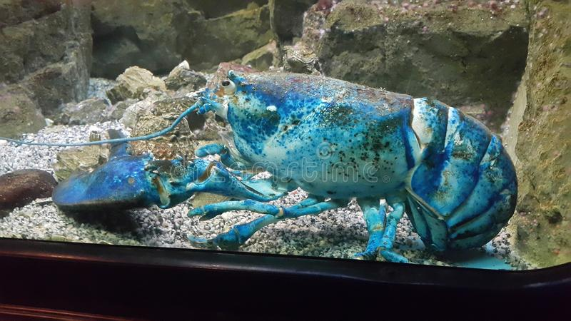 Blue lobster royalty free stock photos