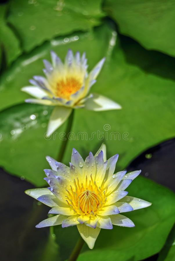 Blue Lotus: The blue lotus flower is associated with a victory of the spirit over that of wisdom, intelligence and knowledge. stock photography