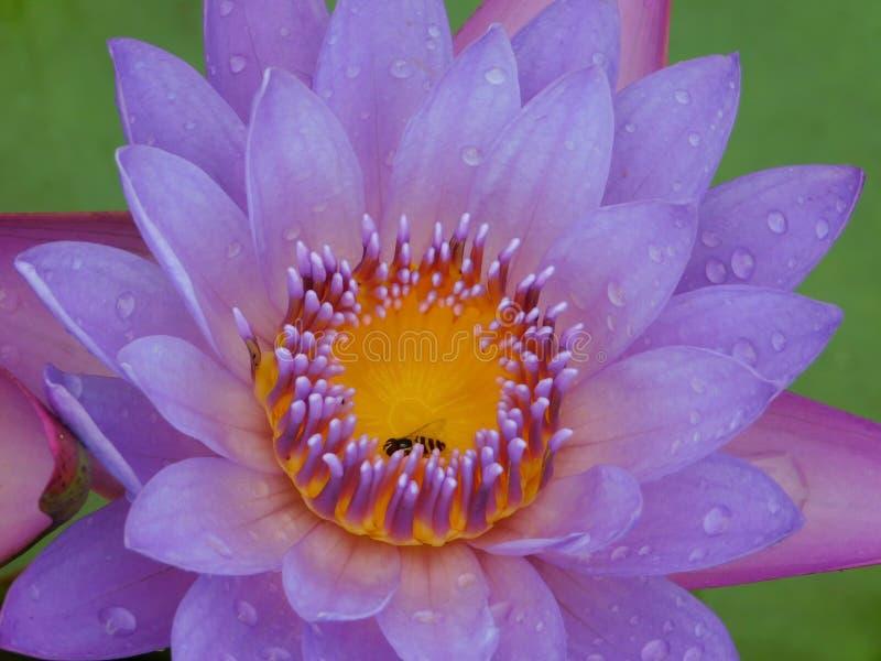 Blue lotus or Egyptian lotus photos libres de droits