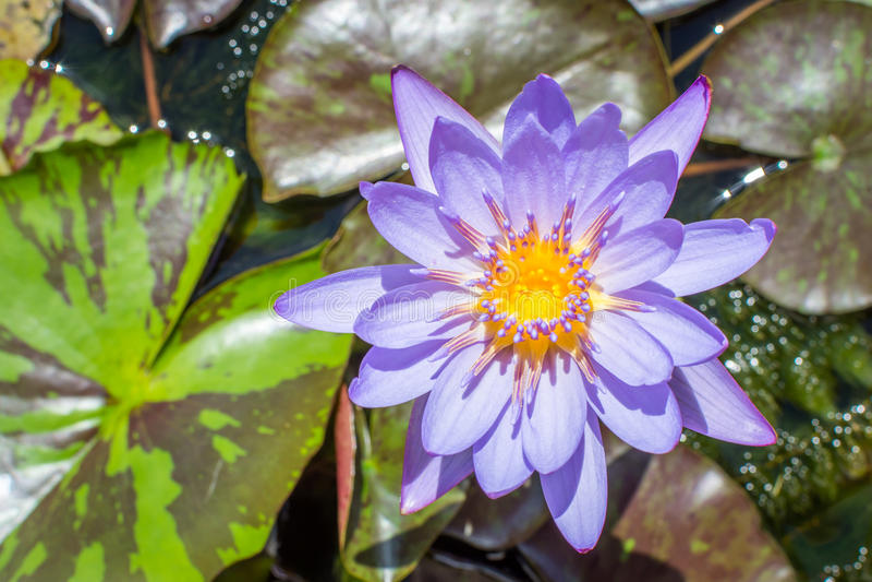 Blue lotus flower stock photo