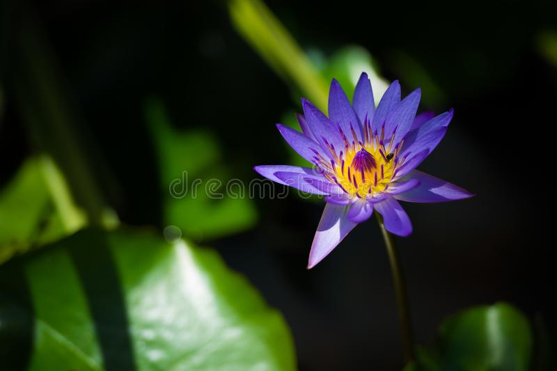 Blue lotus flower and bee in the pond royalty free stock photography