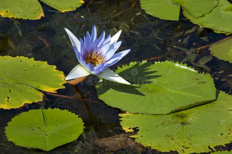 Blue Lotus Flower and Lilly Pads on Pond stock photography