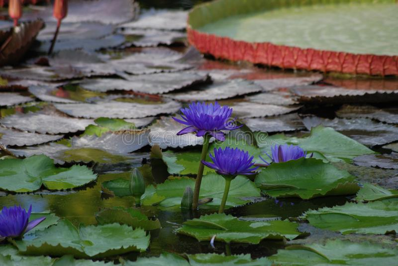 Blue Lotus Water Lily Garden. Patch of Lilac Water Lilies in Pond, moorish garden, aquatic flowers and plants, nymhaea nouchali blooming, blue or star lotus royalty free stock images