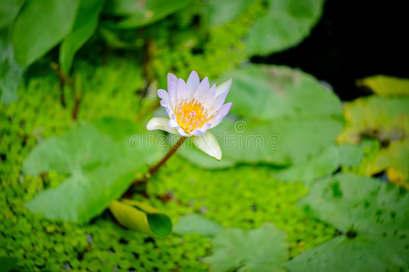 Blue Lotus Waterlily Flower. Closeup blue lotus flower with stylized shallow depth of field focus royalty free stock image