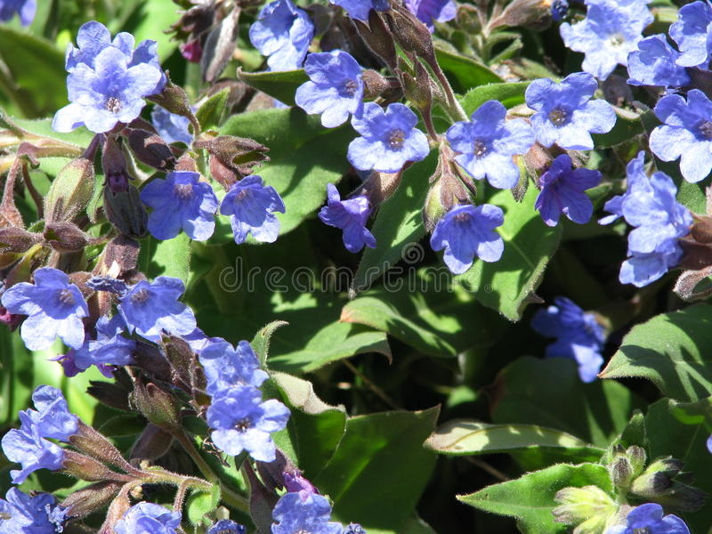 Blue lungwort in the forest stock image