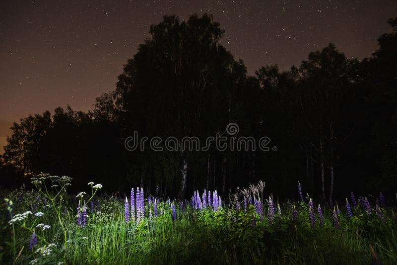 Blue lupines on field. The beautiful night scenery. Slow shutter speed. Spectacular clear starry sky. Scenic view. The light from the lantern on the grass and royalty free stock image